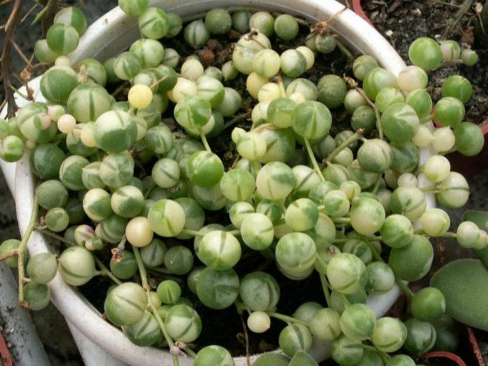 Curio rowleyanus 'Variegata' (Variegated String of Pearls) aka Senecio rowleyanus'Variegata'
