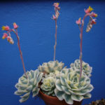 Echeveria 'Compton Carousel' (Variegated Hens and Chicks)