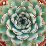 Echeveria pulidonis (Pulido's Echeveria)