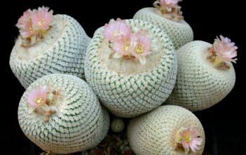 Epithelantha bokei - Pingpong Ball Cactus