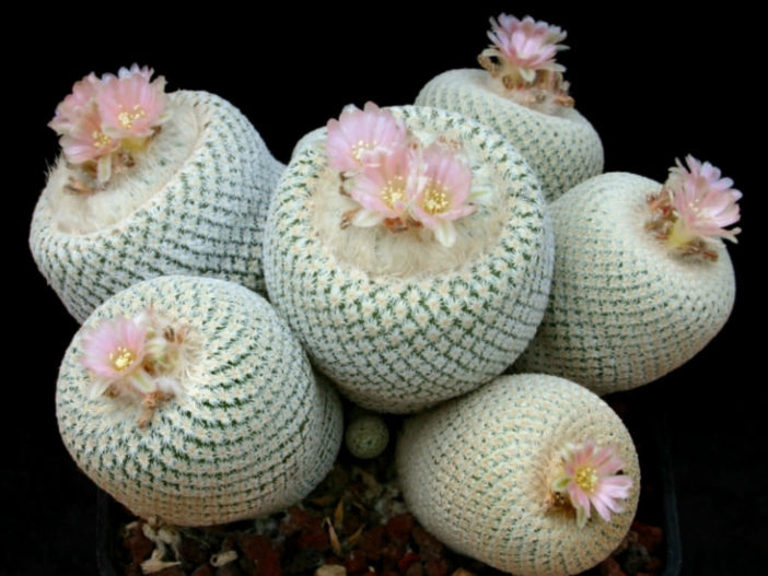 Epithelantha bokei (Pingpong Ball Cactus)