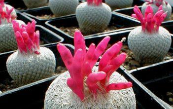 Epithelantha micromeris - Button Cactus