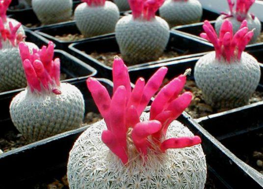Epithelantha micromeris – Button Cactus