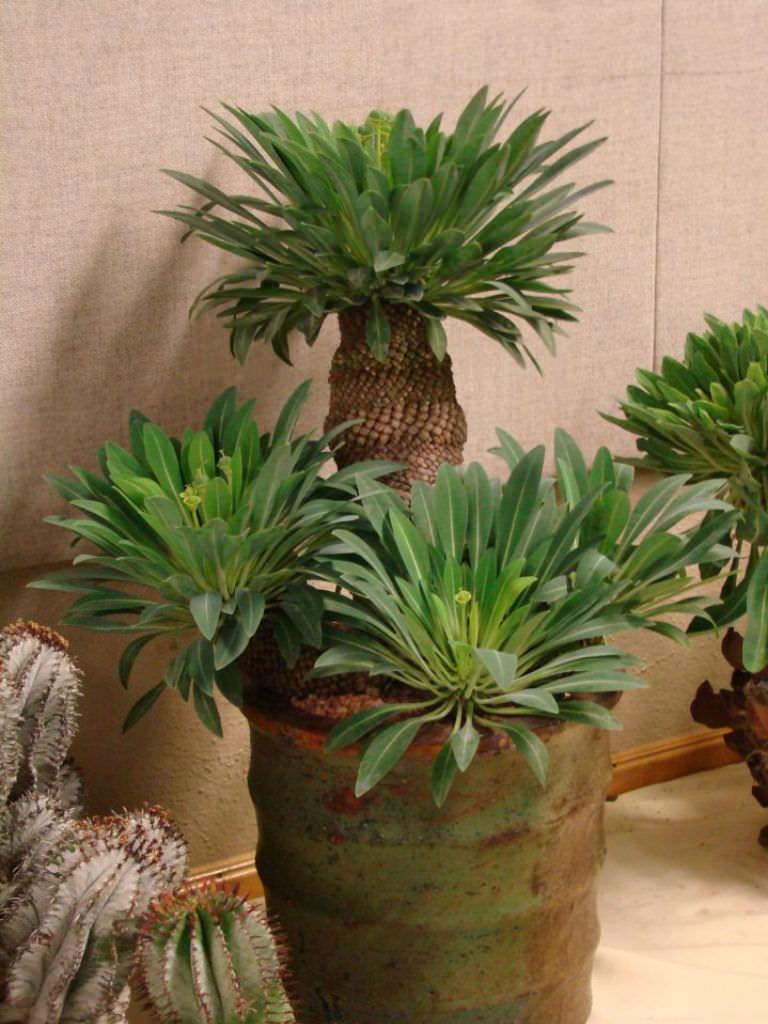 Euphorbia bupleurifolia (Pine Cone Plant) | World of ...