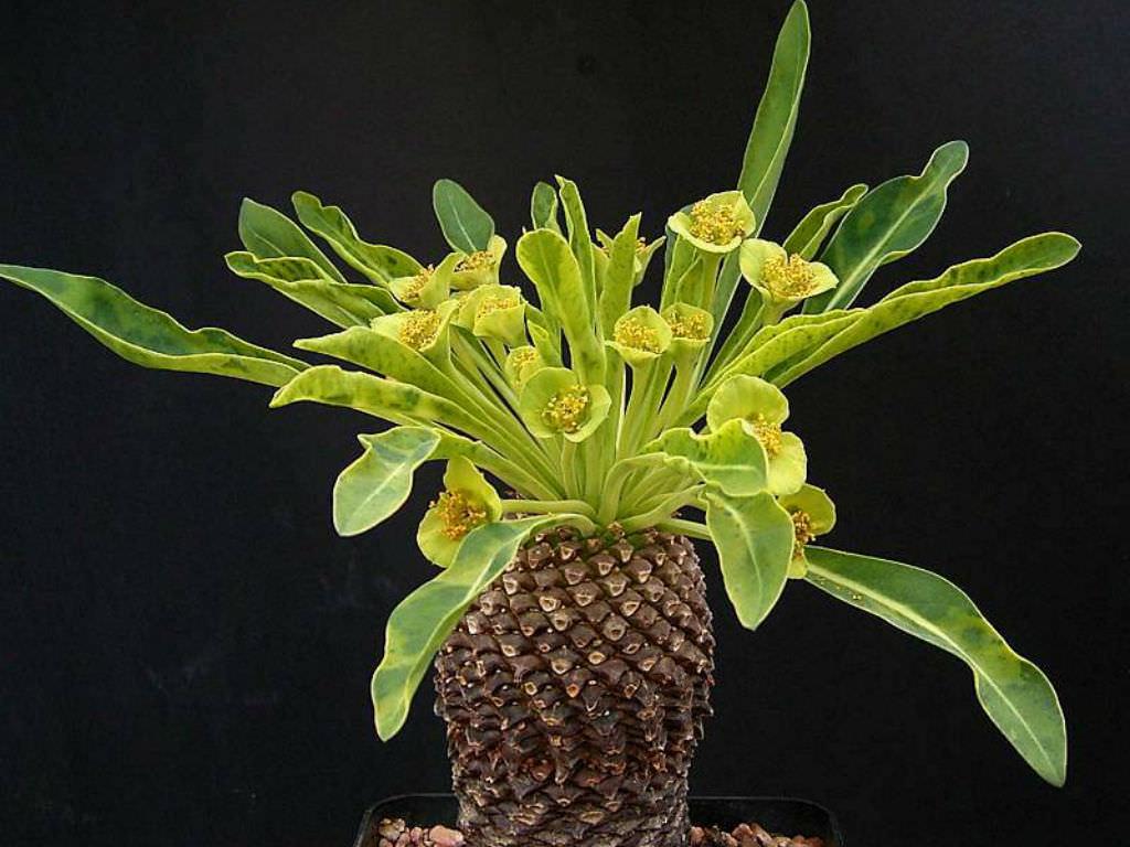 Garden Bush: Euphorbia Bupleurifolia (Pine Cone Plant)