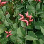 Euphorbia tithymaloides (Devil's Backbone)