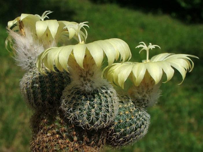 Frailea densispina