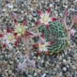 Graptopetalum filiferum