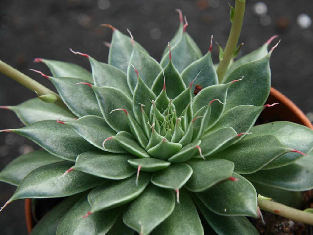 graptopetalum filiferum world of succulents