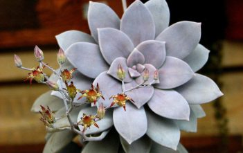Graptopetalum superbum - Beautiful Graptopetalum