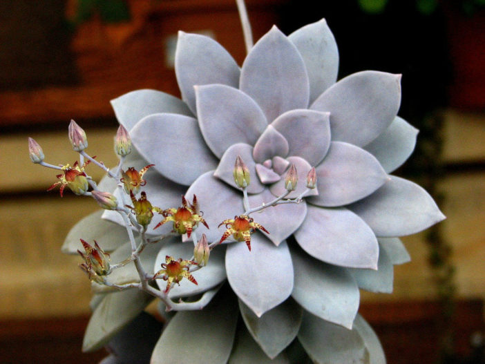 Graptopetalum superbum (Beautiful Graptopetalum) aka Graptopetalum pentandrum subsp. superbum