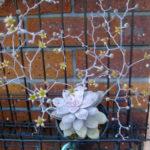 Graptopetalum superbum (Beautiful Graptopetalum) aka Graptopetalum pentandrum subsp. superbum