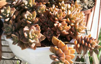 Graptosedum 'Bronze'