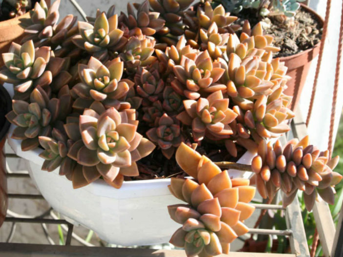 Graptosedum 'Bronze' aka Graptosedum 'Alpenglow' or Graptosedum 'Vera Higgins'