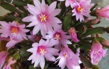 Hatiora rosea - Rose Easter Cactus