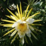Hylocereus costaricensis - Costa Rica Nightblooming Cactus
