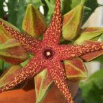 Orbea lutea subsp. vaga