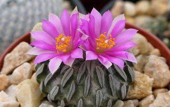 Pelecyphora aselliformis (Peyotillo)