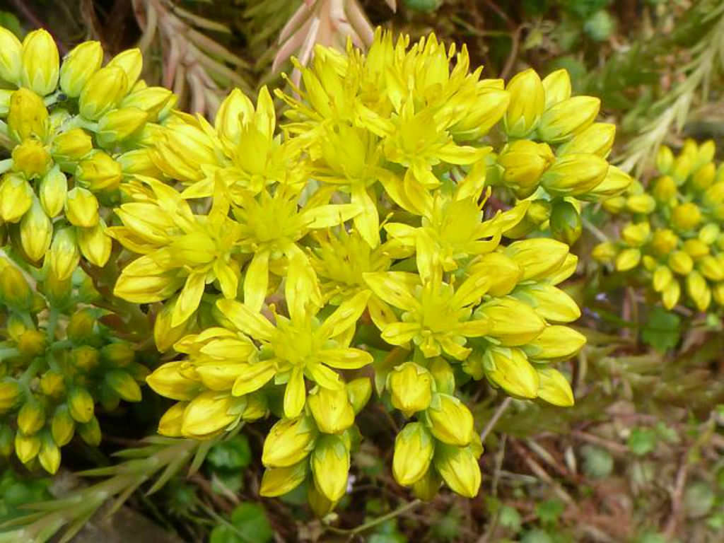 Petrosedum Forsterianum Rock Stonecrop World Of Succulents
