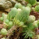 Petrosedum forsterianum - Rock Stonecrop