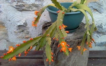 Pfeiffera monacantha aka Lepismium monacanthum or Rhipsalis monacantha