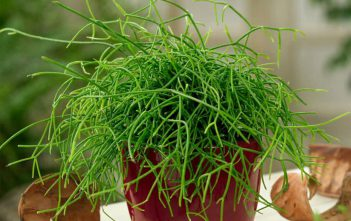 Rhipsalis burchellii (Mistletoe Cactus)