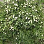 Rhipsalis burchellii - Mistletoe Cactus