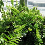 Rhipsalis mesembryanthemoides (Clumpy Mistletoe Cactus)