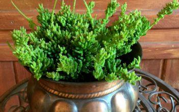 Rhipsalis mesembryanthemoides - Clumpy Mistletoe Cactus