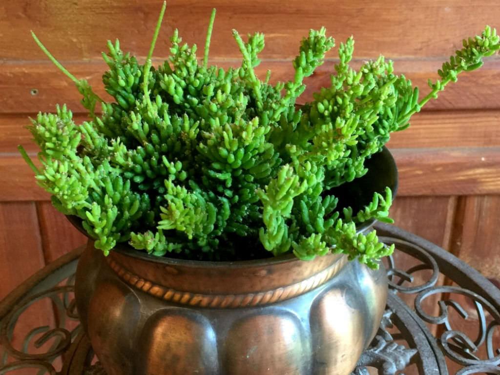 Rhipsalis Mesembryanthemoides World Of Succulents