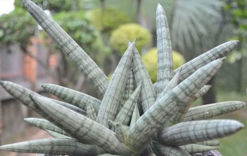 Sansevieria cylindrica 'Boncel' - Spear Orchid