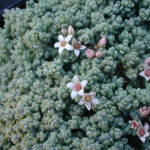 Sedum dasyphyllum 'Minor' (Corsican Stonecrop)