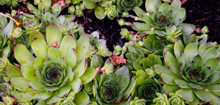 How to Grow and Care for a Common Houseleek | World of ... How To Grow Plants Houseleek on lady's mantle plant, thyme plant, perennial plant, gold flower plant, scilla violacea plant, lemon verbena plant, daffodil plant, goat's beard plant, catmint plant, bottling plant, poppy plant, hyssop plant, birch plant, hops plant, lemon balm plant, sage plant, holly plant, yarrow plant, hellebore plant,