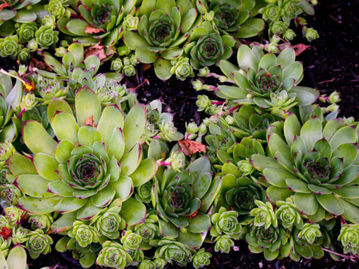 Grow and Care Common Houseleek (Sempervivum tectorum)