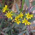 Senecio crassissimus - Vertical Leaf Senecio