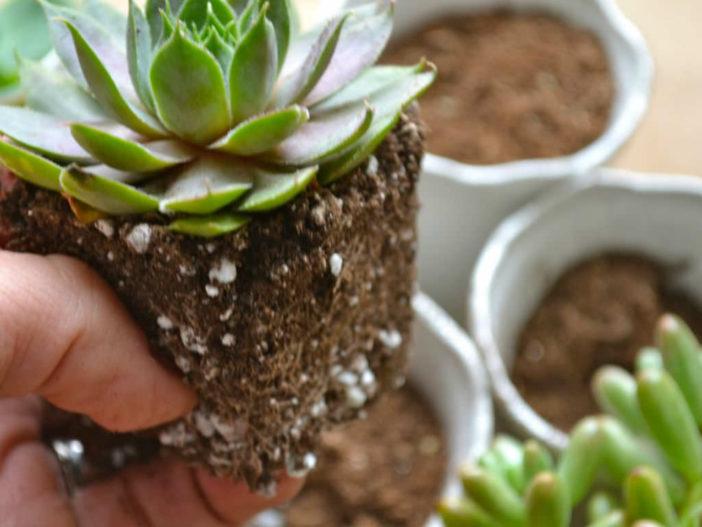Soil Mix for Succulents