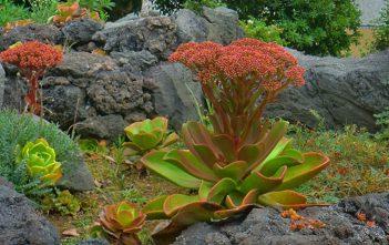 Aeonium nobile (Noble Aeonium)