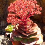 Aeonium nobile - Noble Aeonium