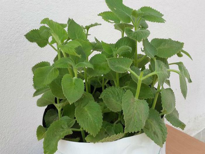 Succulent Herbs: Coleus aromaticus