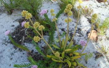 Crassula nudicaulis (Naked-stalked Crassula)
