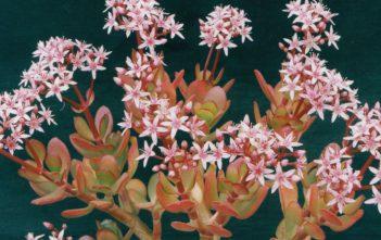 Crassula ovata 'Pink Beauty' - Pink Jade Plant