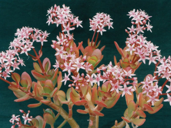 Crassula ovata 'Pink Beauty' (Pink Jade Plant)