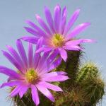 Echinocereus viereckii