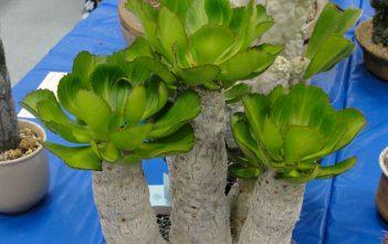 Euphorbia unispina - Candle Plant