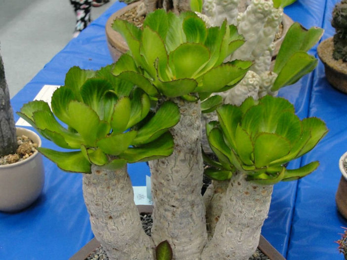 Euphorbia unispina (Candle Plant)