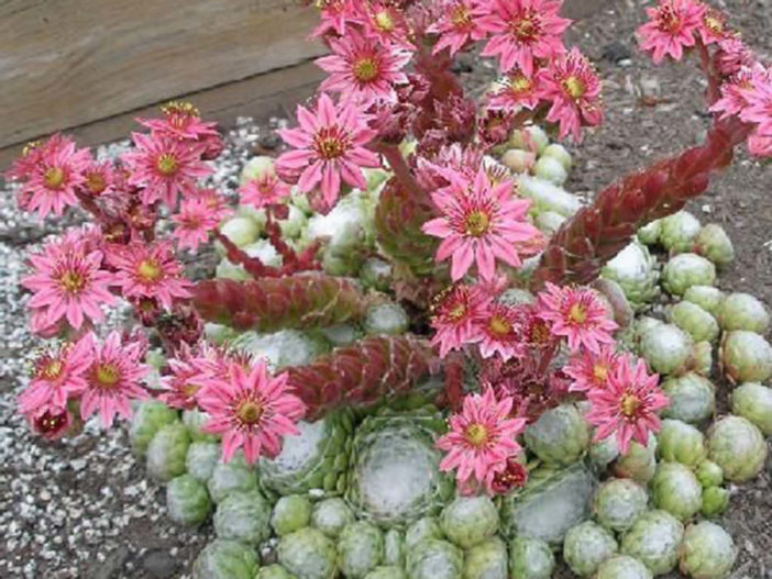 How to Care for a Hens and Chicks Plant
