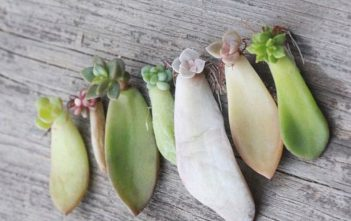 How to Root a Succulent Leaf