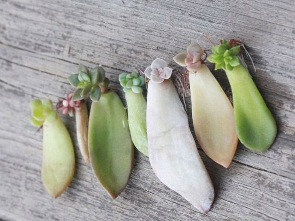 Propagating Jade Plants  How To Root Jade Plant Cuttings