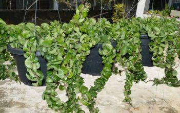 Hoya compacta (Hindu Rope Plant)