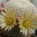 Mammillaria solisioides (Pitayita)